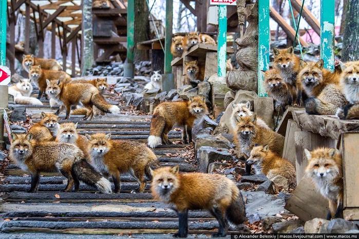 Картинки по запросу 7. Лисицы – деревня Дзао Кицунэ Мура, Япония