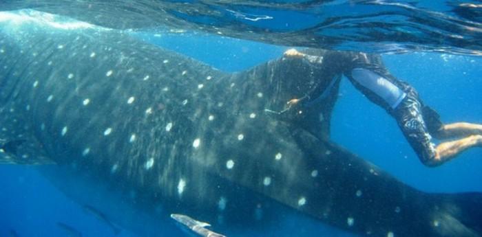 Китовая акула. Самая большая рыба в мире