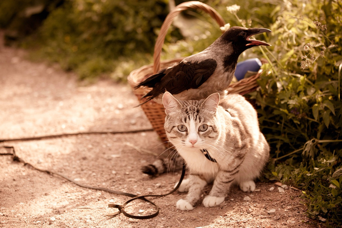 вороны и кошки картинки только