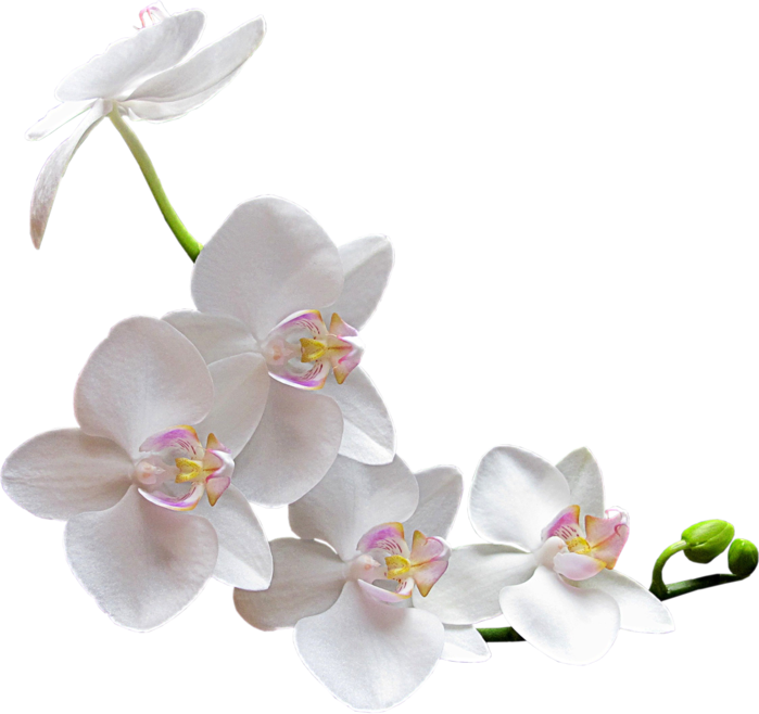 Flower-Clipart-White-Orchids (700x658, 340Kb)
