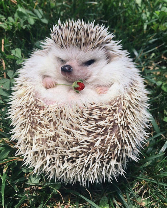 25649515-cute-hedgehogs-89-58933515de0ad__700-1486115456-650-b02fdcb15b-1486153659 (561x700, 506Kb)