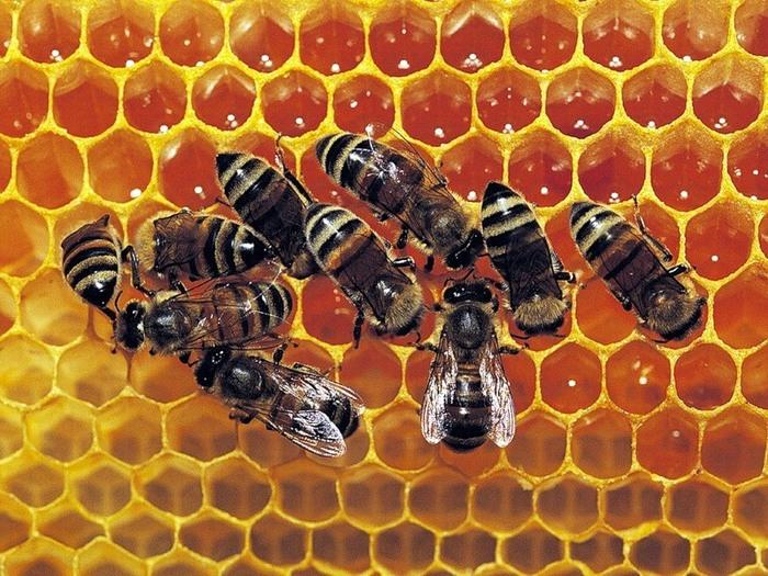 Из чего состоят пчелиные соты shram.kiev.ua
