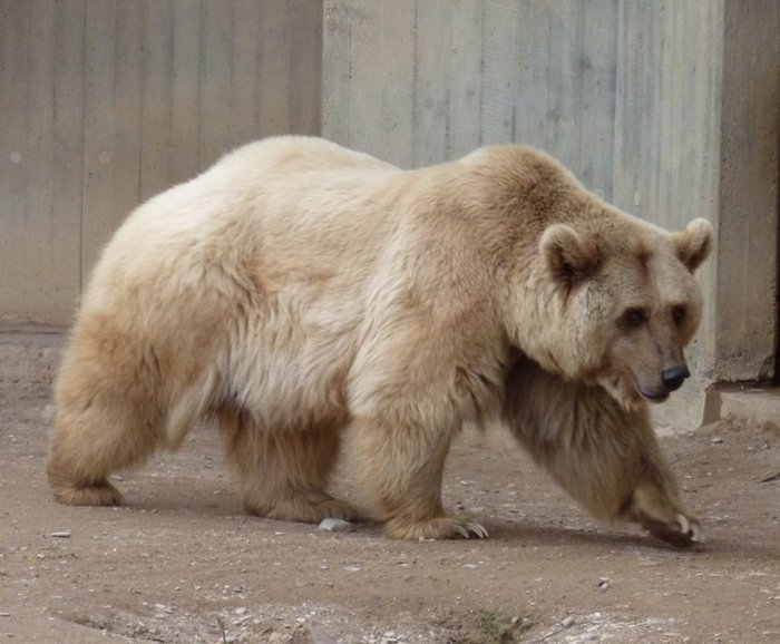 a-grolar-bear-a-very-rare-half-grizzly-and-half-polar-bear-hybrid_preview (700x578, 67Kb)