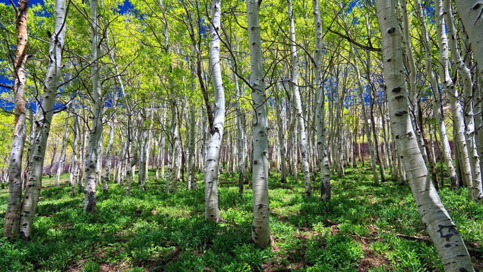 Nature___Forest_Spring_birch_grove_094551_ (700x393, 532Kb)