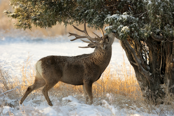 Deer_Winter_Horns_Trees_Snow_527203_1280x853 (700x466, 470Kb)