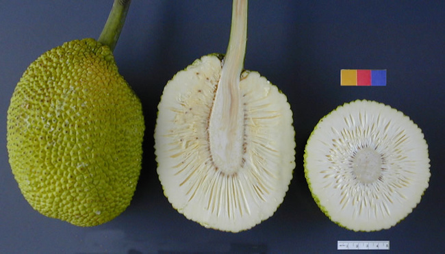 481215-ARS_breadfruit49-1494347169-650-8ac79265de-1540192386 (650x371, 99Kb)