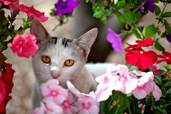 Cats_Sniffing_Flowers_10 (700x467, 338Kb)
