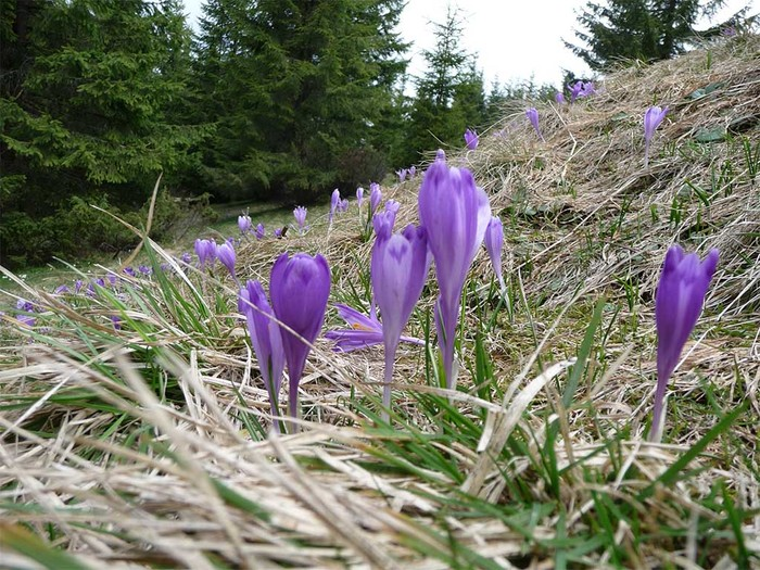 crocusescarpathians (700x525, 167Kb)