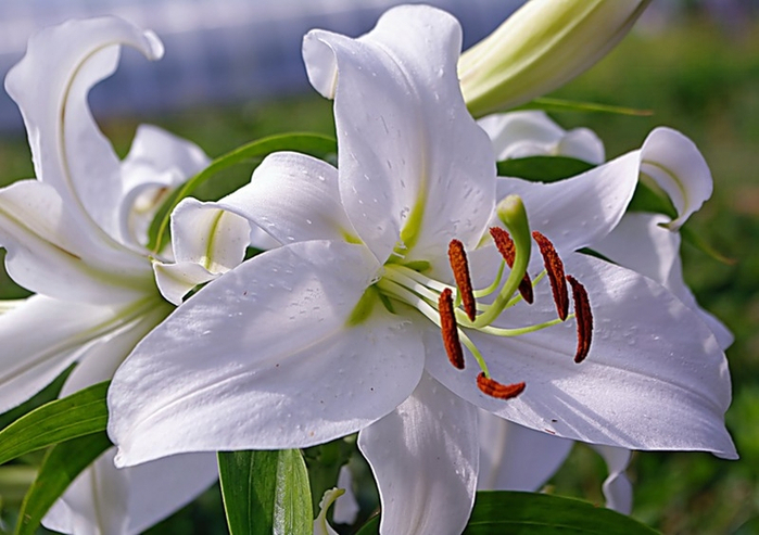 Для, белые лилии картинки красивые