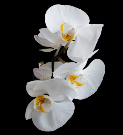 depositphotos_32517071-stock-photo-white-orchids (410x450, 63Kb)
