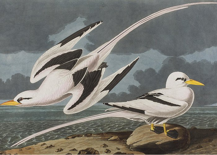 2-tropic-bird-john-james-audubon (700x500, 226Kb)