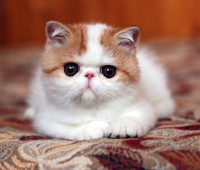 персидская экзотическая кошка фото этом