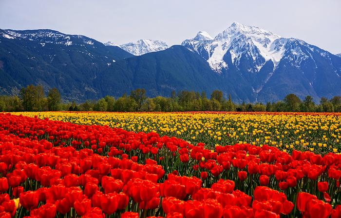 Фестиваль-тюльпанов-Агассиз-Британская-Колумбия-Канада (700x447, 296Kb)