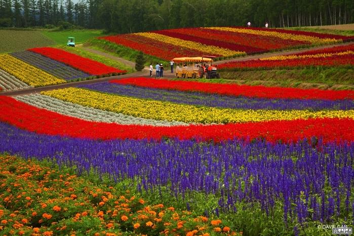 Цветочные-Поля-Фурано-Хоккайдо-Япония (700x466, 343Kb)
