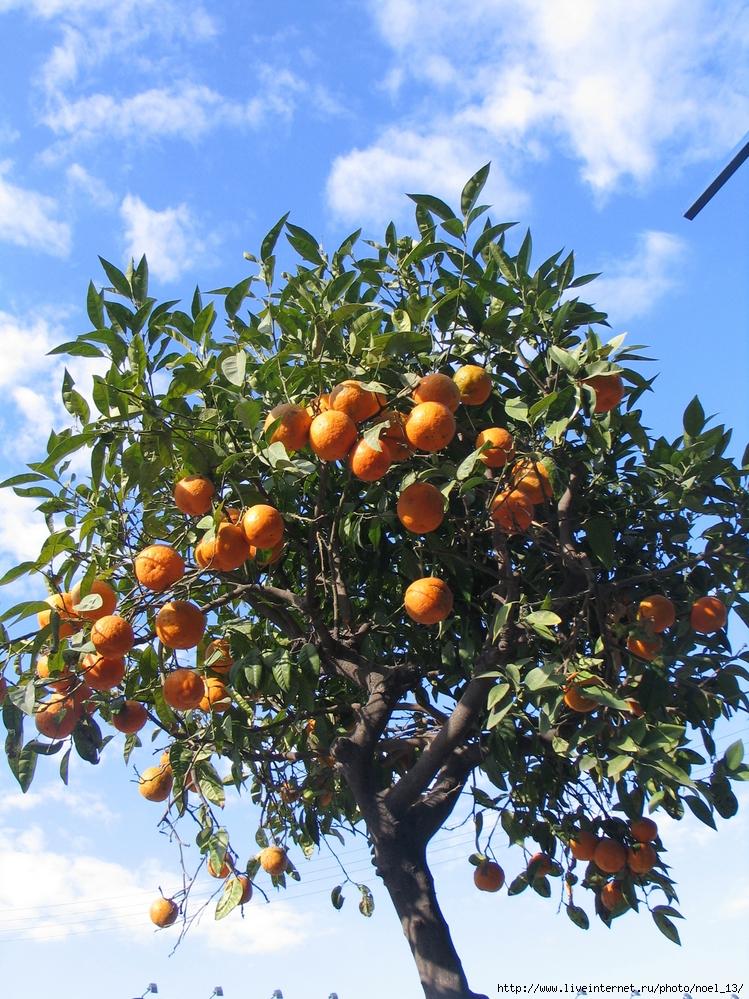 фрукты растут на деревьях картинки старая