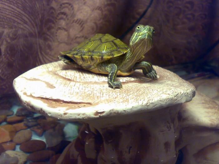 У красноухой черепахи выпали ногти