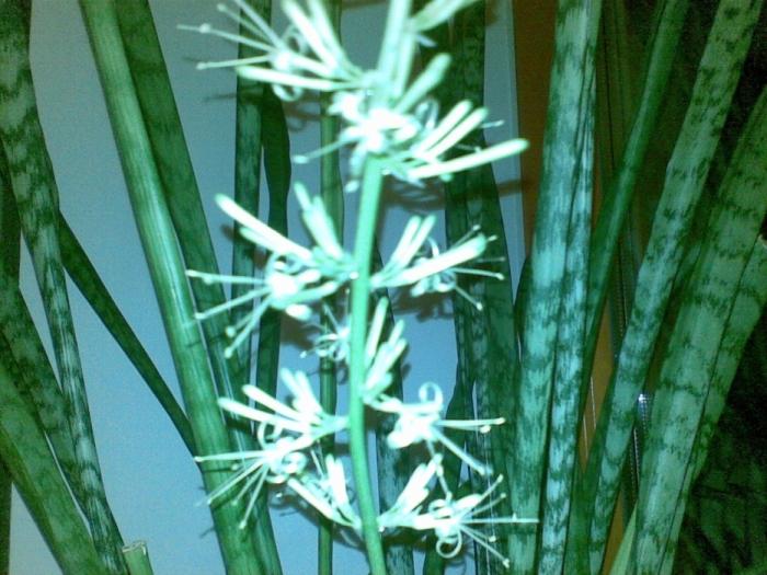 Сансевиерия: цветение, уход, запах, фото и видео
