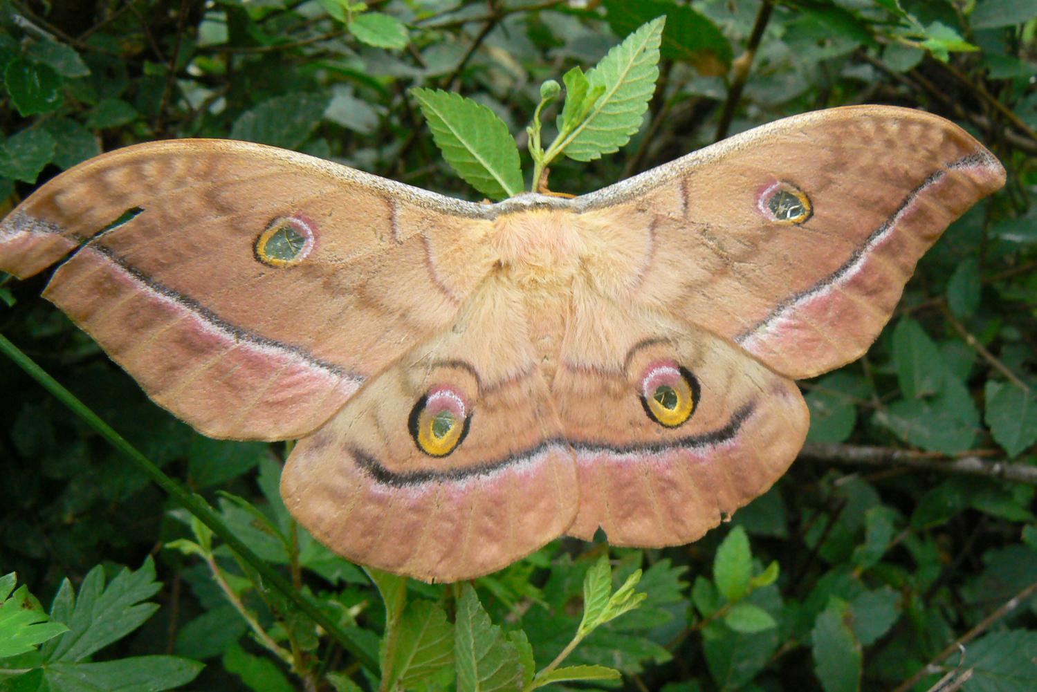 ночная бабочка большая